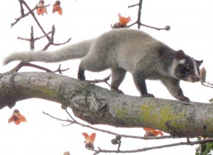 1024px-Palm_civet_on_tree_(detail)